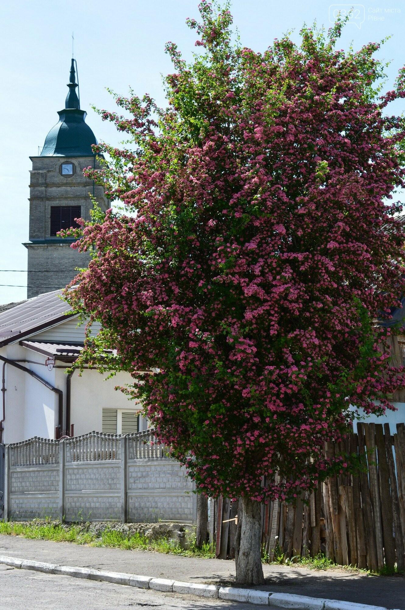 У Здолбунові цвітуть унікальні дерева (ФОТО) , фото-5