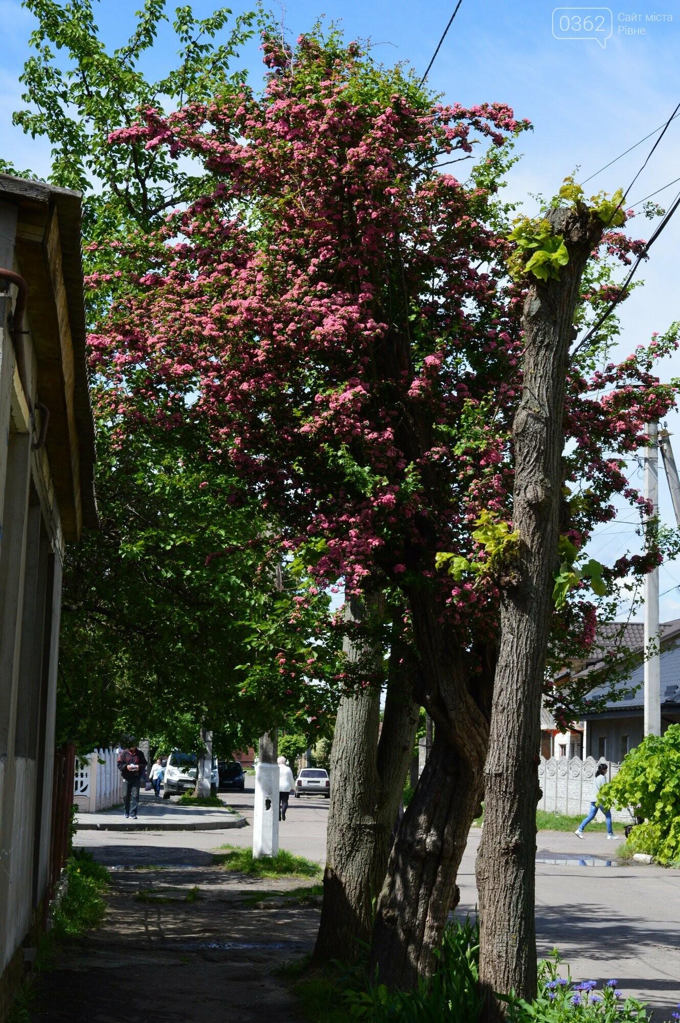 У Здолбунові цвітуть унікальні дерева (ФОТО) , фото-6