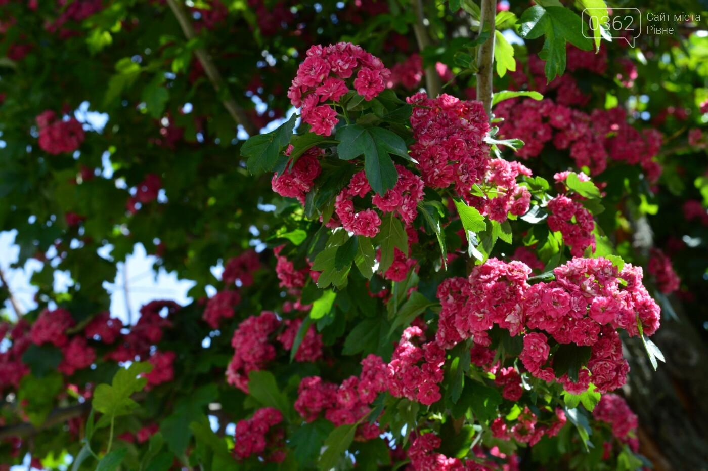 У Здолбунові цвітуть унікальні дерева (ФОТО) , фото-7