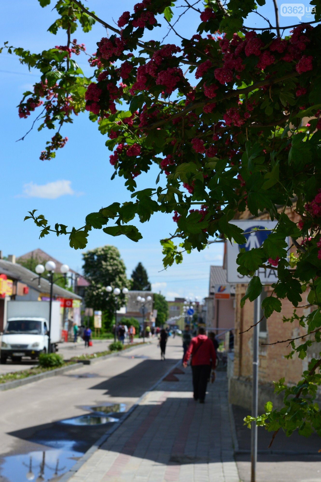 У Здолбунові цвітуть унікальні дерева (ФОТО) , фото-8