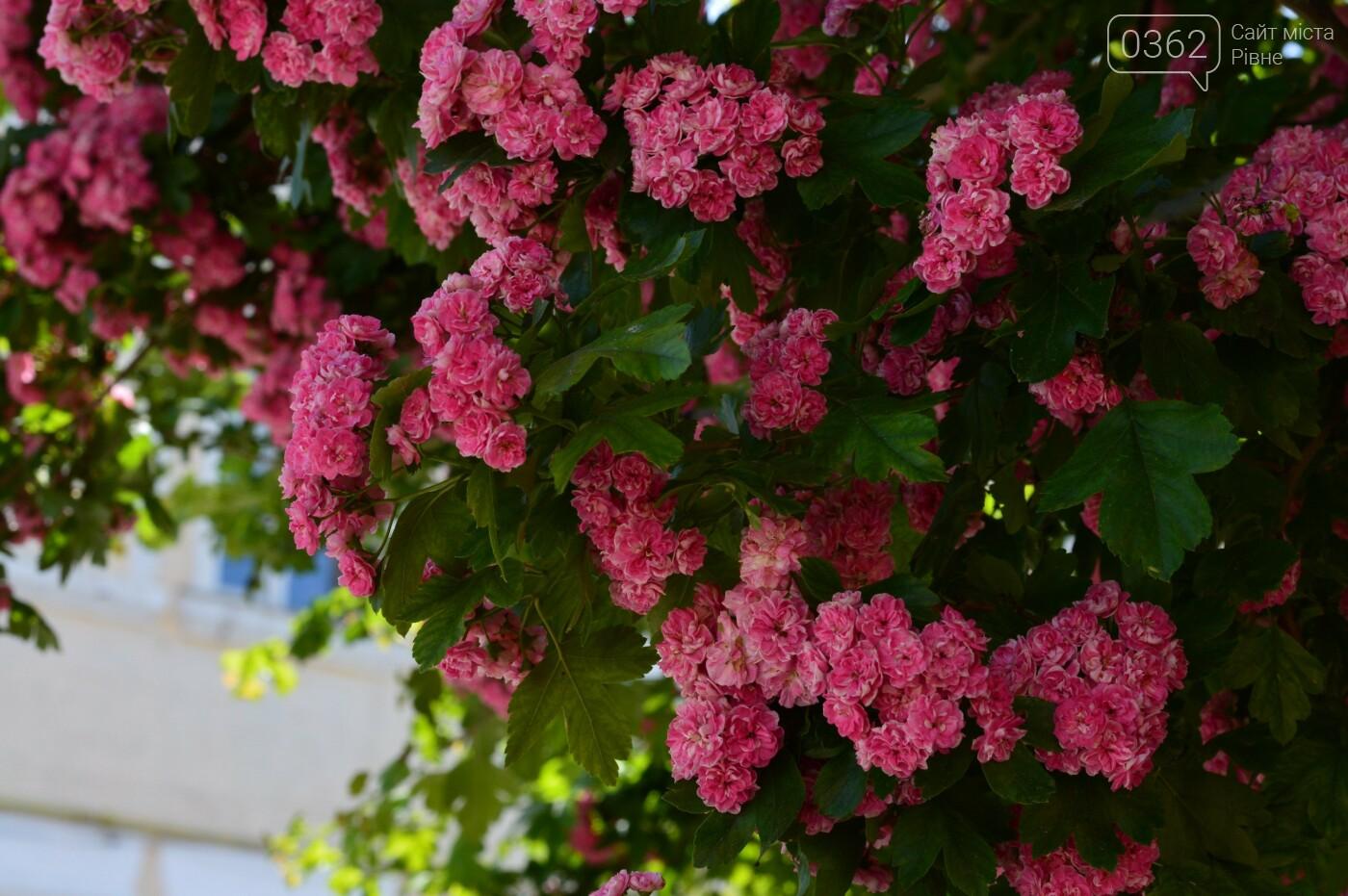 У Здолбунові цвітуть унікальні дерева (ФОТО) , фото-9