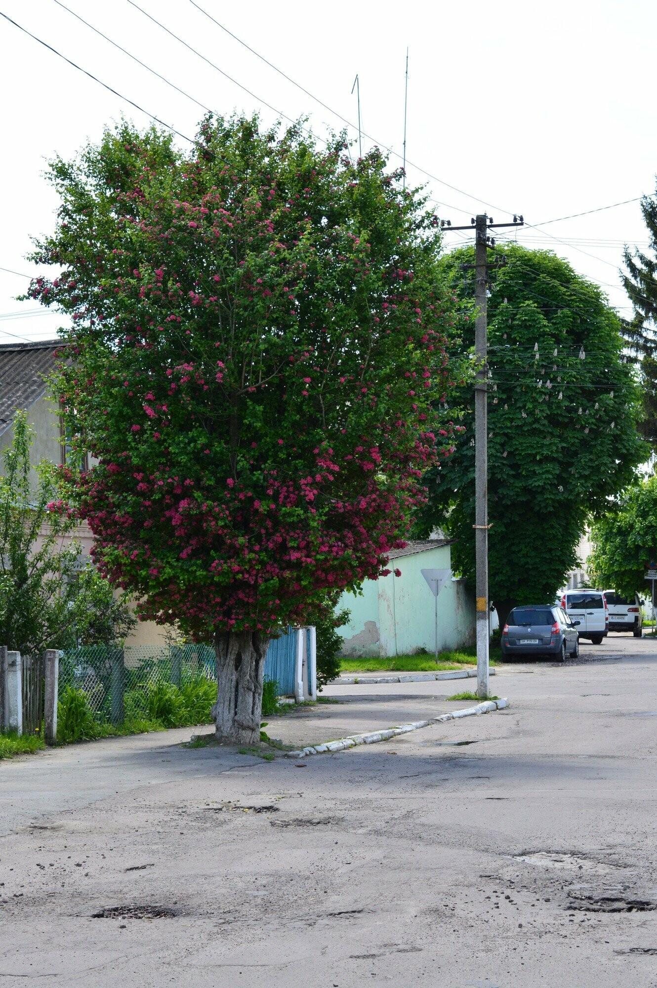 У Здолбунові цвітуть унікальні дерева (ФОТО) , фото-2