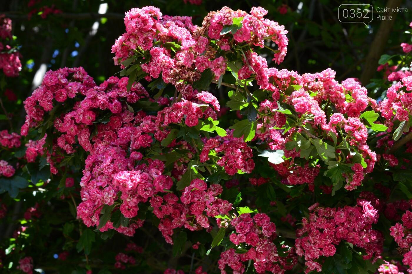 У Здолбунові цвітуть унікальні дерева (ФОТО) , фото-4