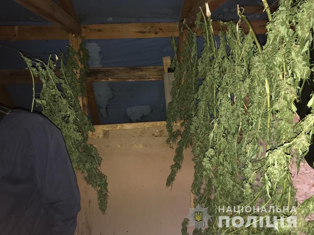 """У Городку молодик на горищі """"дбайливо"""" ховав коноплі (ФОТО), фото-3"""