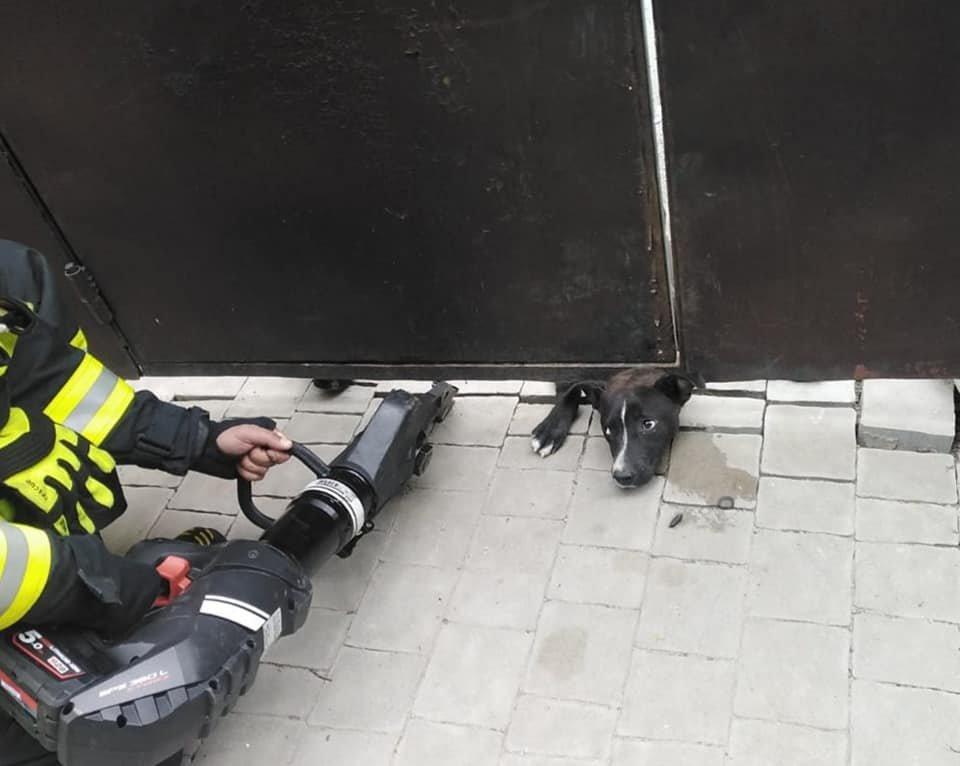 У Рівному пес застряг під металевою огорожею: діставали чотирилапого рятувальники, фото-3